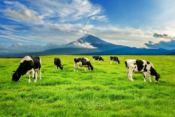 sprzedaż bydła i trzody śląskie