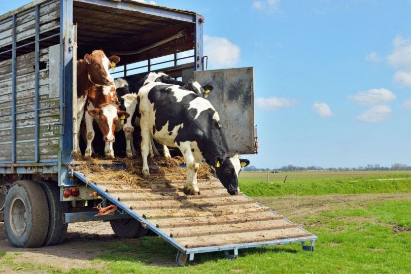 transport i przewóz zwierząt rzeźnych śląskie